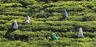 Mulher que trabalha na plantação de chá imagens de stock royalty free