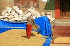 Mulher que usa a grade a secar o arroz em Nepal fotos de stock royalty free