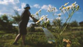Mulher rústica em Panamá que molha seu remendo do jardim em um dia ensolarado no slo-mo vídeos de arquivo