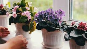 A mulher remove os potenciômetros de flor com o bonito, florescendo, violeta da proposta, vermelho, violetas cor-de-rosa floresce filme
