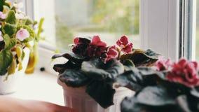 A mulher remove os potenciômetros de flor com o bonito, florescendo, violeta da proposta, vermelho, violetas cor-de-rosa floresce vídeos de arquivo