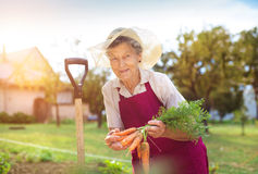 Mulher sênior que colhe cenouras Imagem de Stock Royalty Free