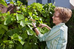 Mulher sênior que inspeciona uvas no jardim Imagem de Stock Royalty Free