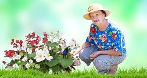 Mulher superior com as flores de jardinagem no jardim Fotografia de Stock Royalty Free