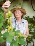 Mulher superior que colhe uvas em seu jardim fotografia de stock royalty free