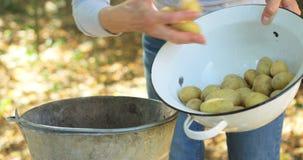 Mulher superior que põe batatas na bacia da cubeta no jardim video estoque