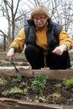 A mulher toma das morangos Imagens de Stock