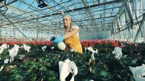 A mulher usa uma garrafa do pulverizador para molhar as flores brancas do cíclame vídeos de arquivo