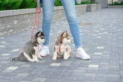 Mulheres atrativas novas que andam com o cachorrinho de dois cães de puxar trenós na rua imagem de stock