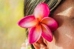 Mulheres cor-de-rosa da orelha da dobra das flores do frangipani Foto de Stock