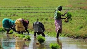 Mulheres da vila que trabalham em um campo do arroz imagens de stock royalty free