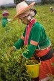 Mulheres do grupo étnico de Palong que colhe pimentas nos campos Imagens de Stock Royalty Free