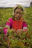 Mulheres do grupo étnico de Palong que colhe pimentas nos campos Foto de Stock Royalty Free