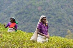 Mulheres do Tamil que trabalham manualmente na plantação de chá Fotografia de Stock Royalty Free