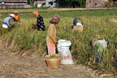 Mulheres durante a colheita do arroz Fotos de Stock Royalty Free