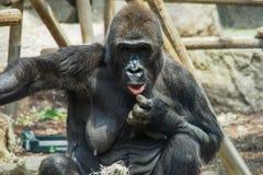 Mulheres idosas de um gorila em um jardim zoológico alemão fotografia de stock