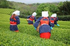 Mulheres japonesas que colhem as folhas de chá Fotografia de Stock Royalty Free