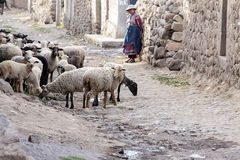 Mulheres que são com seus carneiros no celeiro Imagem de Stock