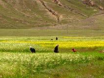 Mulheres que trabalham sobre no campo, Tibet, China foto de stock