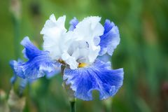 Muli colored iris flower. One of hundreds of different variety of iris on display at presbies iris gardens stock photos