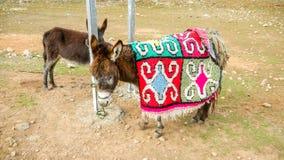 Muli nelle montagne di atlante, Marocco fotografie stock libere da diritti