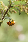 Mulicolored Asian Lady Beetle ( Harmonia axyridis) Stock Photography