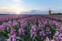 Mulino a vento all'azienda agricola della lampadina del giacinto Fotografia Stock