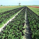 Mulino a vento con il campo del tulipano immagine stock