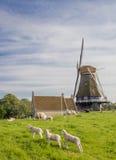 Mulino a vento e pecore su una diga in Medemblik Fotografia Stock