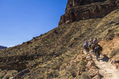 Mulis sulla traccia di Grand Canyon Fotografie Stock Libere da Diritti