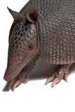Mulita. Armadillo of six bands, on to white background stock photos