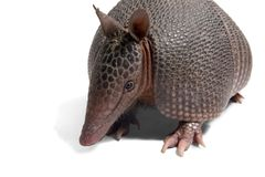 Mulita_2466. Mulita, Armadillo of six bands, on to white background royalty free stock image