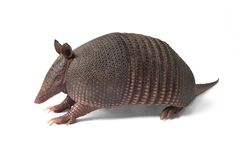 Mulita_2486. Mulita, Armadillo of six bands, on to white background stock photo
