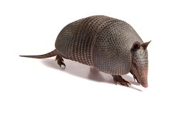 Mulita_2488. Mulita, Armadillo of six bands, on to white background royalty free stock photography