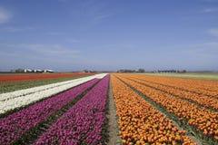 Mulitcolored holländska blommafält i vår Royaltyfri Foto