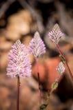 Mulla de mulla de wildflower indigène d'Australie occidentale macro Photo stock