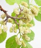 Mullbärsträd Royaltyfria Foton