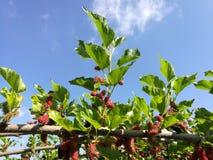 mullbärsträd Royaltyfri Foto