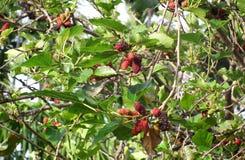 Mullbärsträd: Bärs citrusfrukter för familjfrukt med antioxidants Thailand Arkivbild