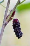 Mullbärsträd. fotografering för bildbyråer
