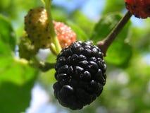 Mullbärsträdbär arkivfoto