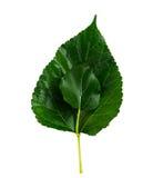Mullbärsträdblad Arkivfoto