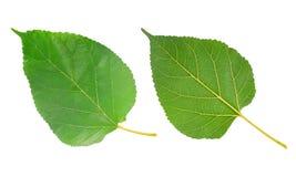 Mullbärsträdblad som isoleras på vit fotografering för bildbyråer