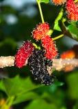 Mullbärsträdet bär frukt på träd Arkivfoton
