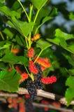 Mullbärsträdet bär frukt på träd Royaltyfri Bild