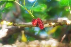 Mullbärsträdfrukt på träd royaltyfria foton