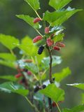 Mullbärsträdfrukten är en åtskillig frukt royaltyfri fotografi
