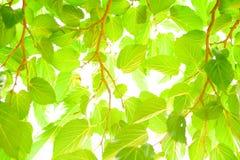 Mullbärsträdsidor och solsken Arkivbilder