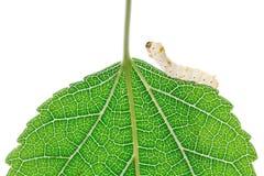 mullbärsträdsilkworm Royaltyfri Fotografi
