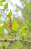 Mullberry en el árbol Imagenes de archivo